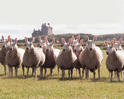 Group of Border Leicester sheep